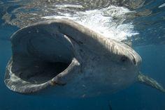 whale shark = Endangered
