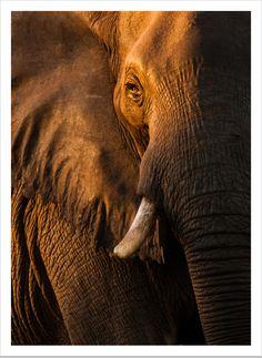 elephant by Federico Veronesi