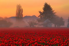 Skaget Valley Tulip Fields Foggy Farmhouse, Washington State  by Don Briggs