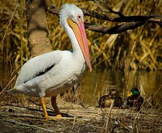 Nature Photography Great White Pelican Bird by VickiesPhotography