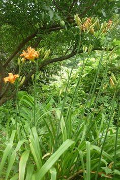 ヤブカンゾウ(薮萓草) 若葉と花は食用になる。  また、利尿剤として利用される。 和名 ワスレグサ ブログ「ハーブ&クラフト 七曜工房」より