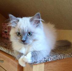british longhair couleur | Élevage familial spécialisé dans les chats British ! Spécificité ...