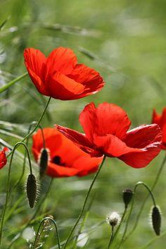 Flanders Poppy, Wild Flowers, Beautiful Flowers, Poppy Photo, Poppies Tattoo, Orange Poppy, Red Poppies, Beautiful Gardens, Flower Art