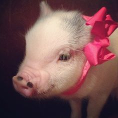This is my piggy Rosie<3