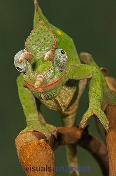 Usambara 3-Horn Chameleon (Chamaeleo deremensis) by Jack Milchanowski