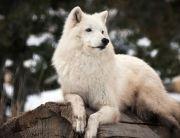 Rayna the Gray Wolf at Animal Ark in Reno, Nevada