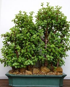 Houseplants for Better Sleep Portulacaria Afra - 'Woods' Bonsai Jade Plant Bonsai, Succulent Bonsai, Jade Plants, Bonsai Plants, Bonsai Garden, Cacti And Succulents, Planting Succulents, Bonsai Pruning, Bonsai Forest