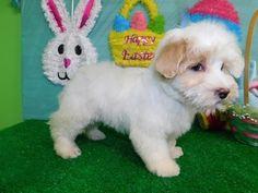 Maltese puppy for sale in HAMMOND, IN. ADN-69435 on PuppyFinder.com Gender: Male. Age: 8 Weeks Ol #maltese puppy for sale in HAMMOND, IN. ADN-69435 on PuppyFinder.com Gender: Male. Age: 8 Weeks Old