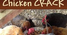 Florassippi Girl: Chicken CRACK - They go CRAZY for it!