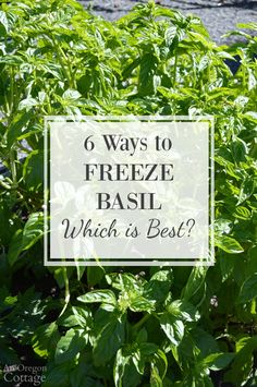 How to freeze basil leaves: six different ways tested to find out the best way to preserve fresh basil. Most were good and one a clear winner!