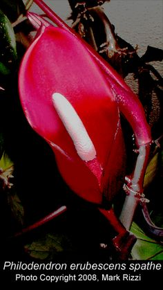 Philodendron erubescens inflorescence, Photo Copyright 2008, Mark Rizzi
