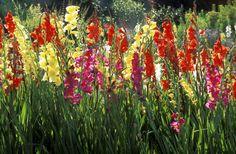 gladiolus-57bfa43d3df78cc16e937761.jpg (5000×3277)