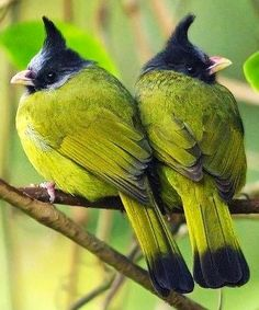 Thorn-headed Chartreusenthals ( ...or - Crested Finchbill Birds ). http://WhatIsTheBestMountainBike.com