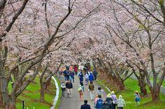 Toda Memorial Cemetery Park in Ishikari, Hokkaido, Yoshino cherry tree is in full bloom.  More pics ... http://jpnpics.com