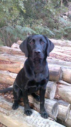 Looks like my dog, Daisy Duke! 1/2 Black Lab, 1/2 Golden Retriever