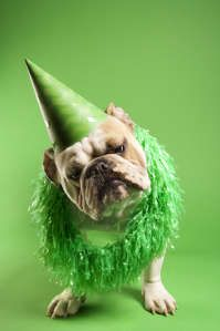 English Bulldog with curious expression wearing lei and party hat and sitting on green background.