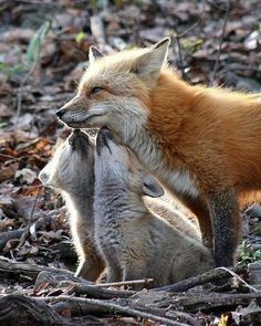 Fox with her cubs