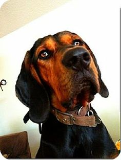 black and tan coonhound photo | Black and Tan Coonhound Mix Dog for adoption in Sacramento area ...