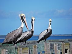 Three Old Pelicans