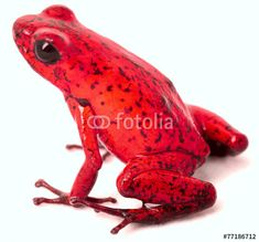 Red backed poison frog ranitomeya reticulata frosch for Acheter poison