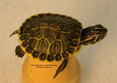 baby turtles!!!! I am soo getting one