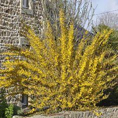 FORSYTHIA  Arbuste dont le feuillage vert se couvre au printemps d'une multitude de fleurs jaune vif très serrées entre elles.