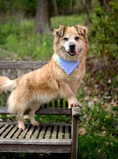 Corina is an adoptable Welsh Corgi, Retriever Dog in Lancaster, OH All of our dogs are spayed or neutered, given a rabies vaccine (if old enough), distemper/parvo ... ...Read more about me on @petfinder.com