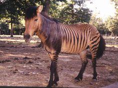 Zebra + Horse = Zorse | The 14 Coolest Hybrid Animals