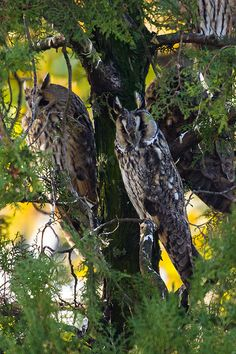 Long-eared Owls | Flickr - Photo Sharing!