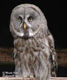 Great Gray Owls usually hunt and forage in the late morning and late afternoon in swamps, bogs and areas with scattered trees and shrubs. This species of owl migrates to estuaries, and mountain meadows, among others where it can hunt smaller mammals like mice, voles, chipmunks, and others.
