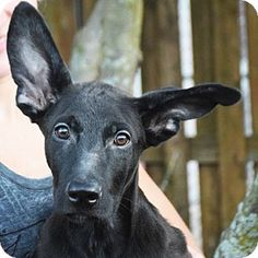 Huntley, IL - Great Dane/Shepherd (Unknown Type) Mix. Meet Sven, a puppy for…  Love his ears - too cute!!!!