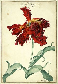 Watercolour of a Tulip taken from Karlsruher Tulpenbuch (1730). Wikimedia.