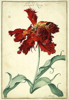 Watercolour of a Tulip taken from Karlsruher Tulpenbuch (1730).  Wikimedia.
