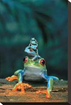 Stretched Canvas Print: Frogs : 15x10in