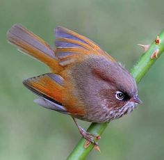F~Taiwan Fulvetta (Fulvetta formosana). Pretty Birds, Love Birds, Beautiful Birds, Animals Beautiful, Small Birds, Little Birds, Colorful Birds, Nature Animals, Animals And Pets