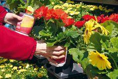 Komerčné pestovanie črepníkových gerber spája veľa umelých zásahov do ich rastu a kvitnutia. V domácich podmienkach preto len zriedka opäť zakvitnú tak bohato, ako keď ste si ich kupovali. Pri dobrej starostlivosti však kvety nebudú len na pár týždňov.