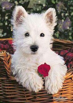 Pin West Highland White Terrier on Pinterest