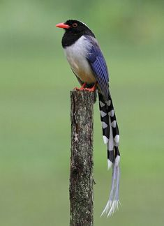Red-billed Blue Magpie - Look at those tail-feathers.