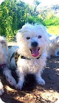Santa Barbara, CA - Westie, West Highland White Terrier/Norwich Terrier Mix. Meet Charlie, a dog for adoption. http://www.adoptapet.com/pet/12592053-santa-barbara-california-westie-west-highland-white-terrier-mix