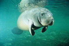 favorite aquatic animal :) <3 manatee!