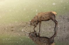 deer by knipser62 #animals #animal #pet #pets #animales #animallovers #photooftheday #amazing #picoftheday