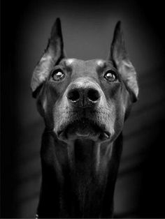 Serious dobe - one of the best dogs I've ever known was a Dobe - great urban dog
