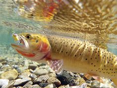 Image detail for -Yellowstone Lake cutthroat trout - Draft plan aims to aid Yellowstone ...