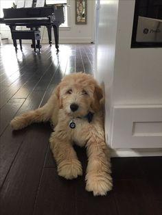 ღღ Owner wrote: My sweet golden doodle Cute Puppies, Cute Dogs, Dogs And Puppies, Doggies, Cute Baby Animals, Animals And Pets, Goldendoodle Grooming, Cute Creatures, I Love Dogs