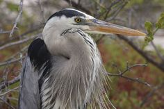 Great Blue Heron | Endless Wildlife