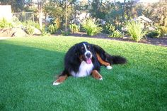 Give your pets the best dog run with synthetic pet turf from SYNLawn San Diego. Pet-friendly artificial grass designed to neutralize odors and absorb waste.