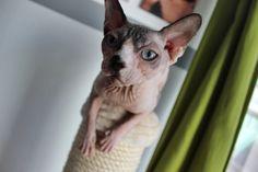 Sphynx, Katze, Nacktkatze, Hairless Cat, Canadian Sphynx, Kitten,