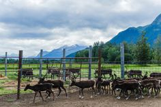 The Reindeer Farm in Palmer Alaska