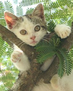 Yesterday I found the kitty high in our Mimosa tree napping draped over a branch. Puppies And Kitties, Cute Cats And Dogs, I Love Cats, Cool Cats, Animals And Pets, Cats And Kittens, Baby Animals, Pretty Cats, Beautiful Cats