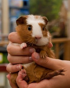 The Excellent Adventure Sanctuary. Buy The Right Size Guinea Pig Cage. Photo by maskarade Purchasing a guinea pig cage in a pet shop is unfortunately a good way to ensure that it is in fact too small for your pet's needs. Baby Guinea Pigs, Baby Pigs, Baby Bunnies, Cute Little Animals, Cute Funny Animals, Peruvian Guinea Pig, Pig Pics, Guinea Pig Breeding, Guniea Pig